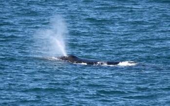 Das Schlachten geht weiter – Japaner gehen wieder auf Walfang