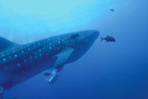 Mit etwas Glück werden bei der Gruppenreise auch Walhaie gesichtet. (Foto: Veranstalter)