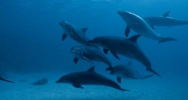 Laut Studie sterben jährlich 12.000 Delfine vor der Küste Pakistans