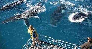 Australien – Whitsundays wollen Touristen mit Whale-Watching locken