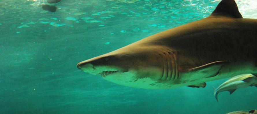 Global FinPrint – Microsoft-Mitgründer Paul Allen lässt weltweit Haie zählen