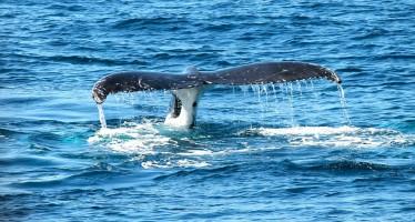 In Island ist lärmfreies Whale-Watching mit dem Elektroboot möglich