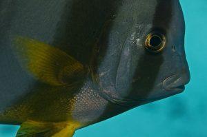 Fledermausfisch_Orlando-Grand1