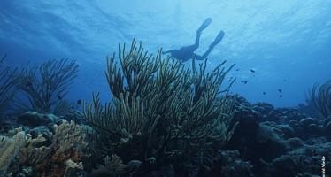 Guadeloupe-Korallenschutzprojekt