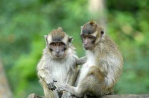 Monyet 2 (WILLY P)