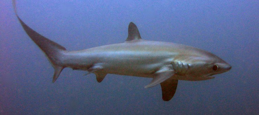 CITES entscheidet eindeutig für besseren Schutz von Haien und Rochen