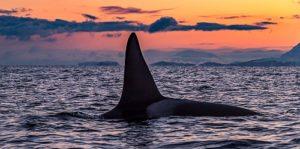 norway-orcas1