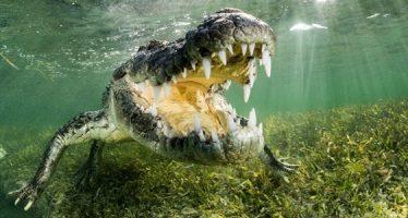 Die Krokodile von Banco Chinchorro