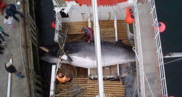 Walschützer verurteilen Beginn der norwegischen Waljagd
