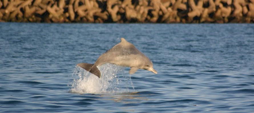 Erfolge im Kampf gegen delfin-tödliche Hainetze