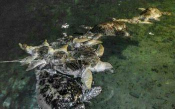 Schildkrötenkadaver vor Borneo entdeckt