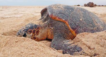 Turtle Foundation verlost Tauchreisen und Sachpreise zugunsten bedrohter Meeresschildkröten