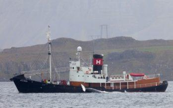 Nach drei Jahren Pause: Isländische Firma macht wieder Jagd auf Finnwale