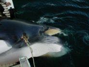 Nach kläglicher Jagdsaison ist die Zukunft von Norwegens Walfang ungewiss
