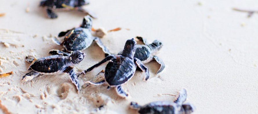 Wa Ale, Myanmar: Schildkrötenschutzprojekt im Ecoresort